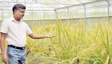 Philippines approves GMO 'golden rice' for commercial production