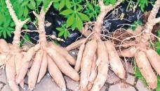 Cassava turning into a cash crop for Cumilla farmers