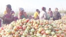 Grafting method increases tomato yield in Moulvibazar