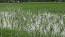 9,000 hectares of Sirajganj cropland flooded